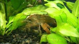 Bamboo Shrimp Like Aquarium Plants