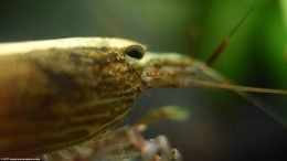 Bamboo Shrimp Eye And Feelers, Closeup