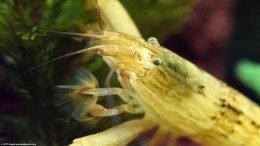 Freshwater Shrimp Like Planted Tanks