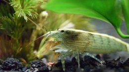 Bamboo Shrimp Are Great Filter Feeders
