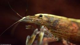 Bamboo Shrimp Head And Eye, Closeup