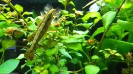 Bamboo Shrimp Like Live Aquarium Plants