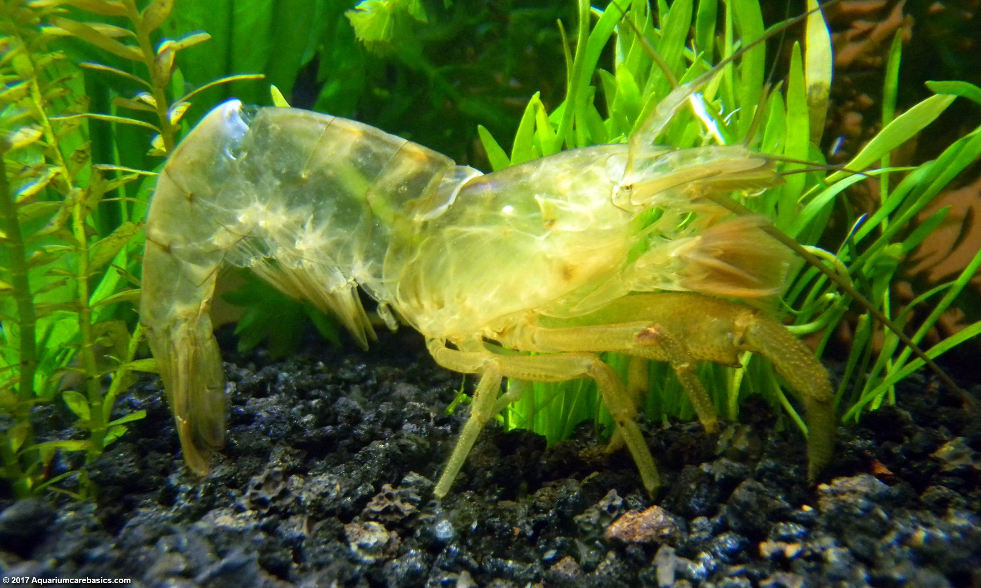 Bamboo Shrimp Shell After Molting, Leaving Its Exoskeleton Behind