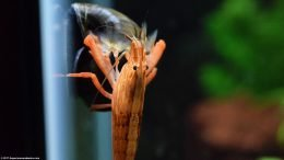 Bamboo Shrimp And Mystery Snail On Aquarium Glass