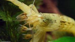 Bamboo Shrimp Opening Fans