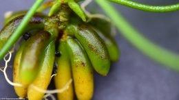 Banana Plant Fish Tank Roots