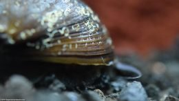 Black Racer Nerite Snail In A Freshwater Aquarium