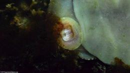 Black Racer Nerite Snail Eating Algae