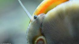 Black Racer Nerite Snail On Aquarium Glass