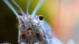 Blue Crayfish Eye, Closeup