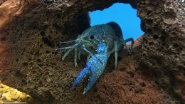 Blue Crayfish On A Lava Rock