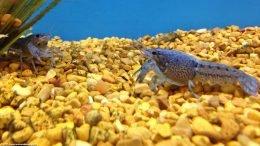 Hammers Cobalt Blue Lobster In A Freshwater Aquarium