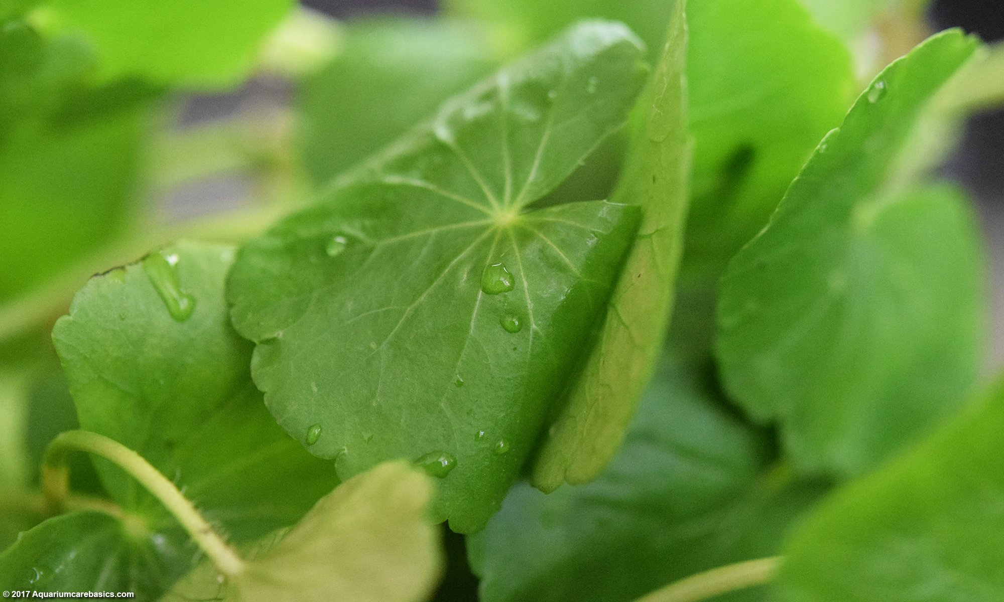 Brazilian Pennywort Leaves, Upclose