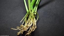 Brazilian Sword Plant Roots
