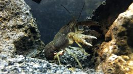 Brown Aquarium Crayfish With Eggs