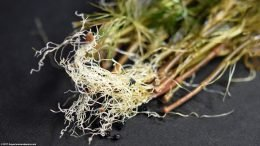 Cabomba Plant Roots, Fine And Upclose