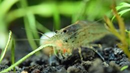 Caridina Multidentata In A Freshwater Aquarium