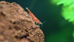 Red Cherry Shrimp Eating Algae Growing On Glass