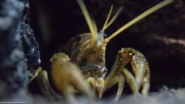 Closeup Of An Aquarium Crayfish In A Freshwater Tank