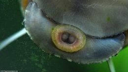 Closeup Of Black Racer Nerite Snail Eating Algae
