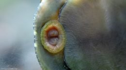 Closeup Of Black Racer Nerite Snail Mouth