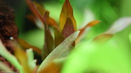 Ludwigia Peruensis Leaves, Upclose
