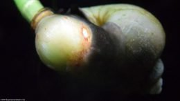 Closeup Of Mystery Snail On A Dwarf Onion Plant