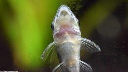 Closeup Of Otocinclus Catfish On Aquarium Glass