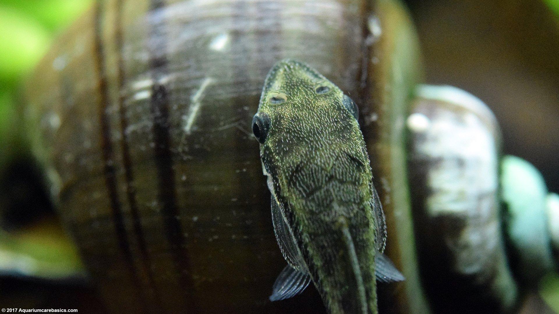 Midget suckermouth catfish galleries 397