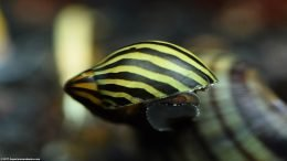 Closeup Zebra Nerite Snail Moving Across Hard Surfaces