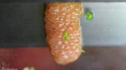 Freshwater Snails Egg Clutch, Closeup