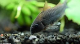 Cory Catfish On Black Substrate