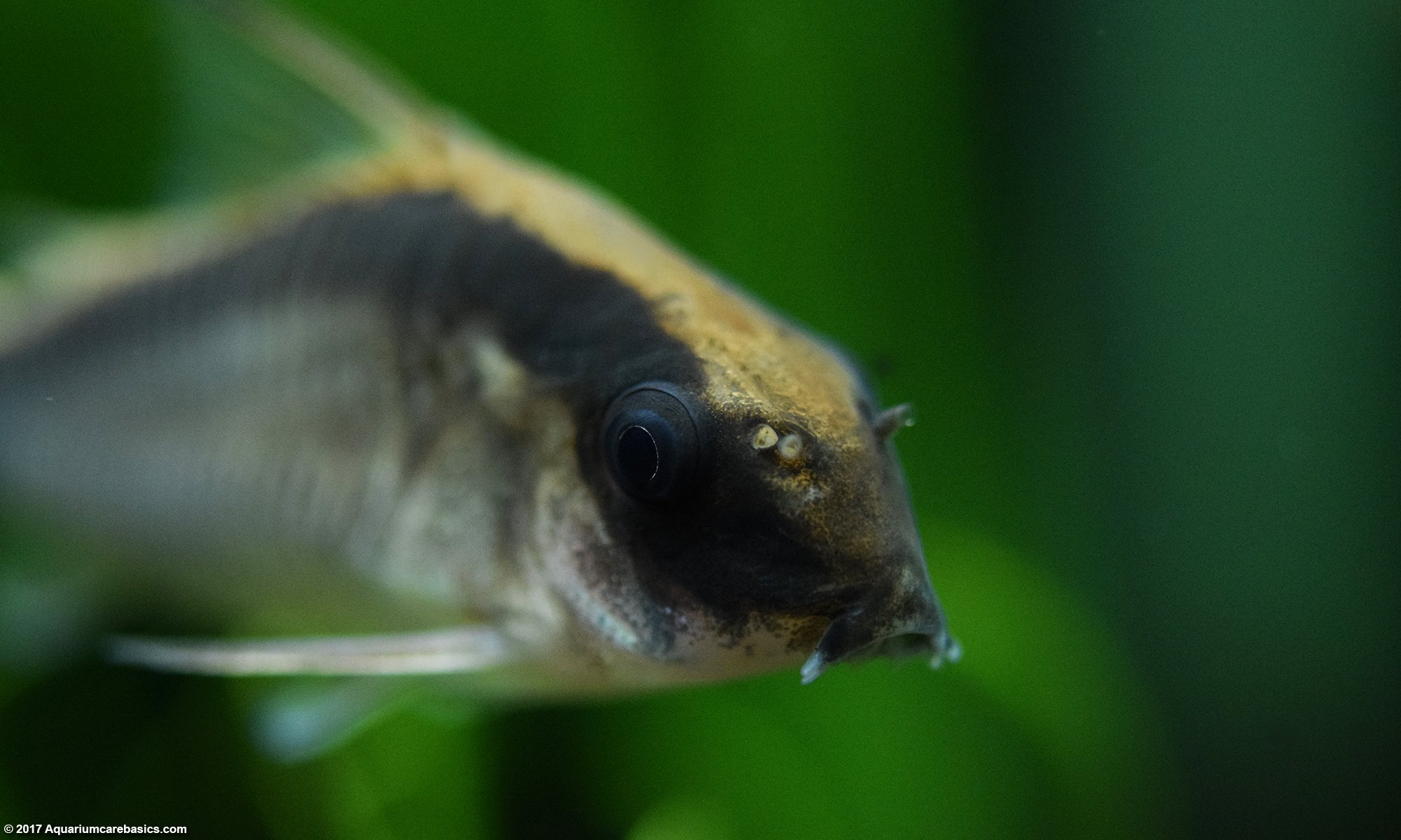Cory Catfish Swimming In A Planted Tank