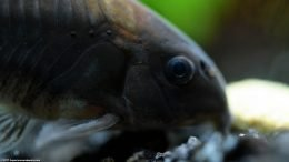 Cory Catfish, Upclose