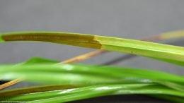 Cyperus Helferi Care