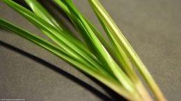 Cyperus Helferi Plant