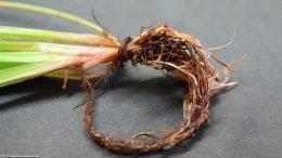 Cyperus Helferi Roots