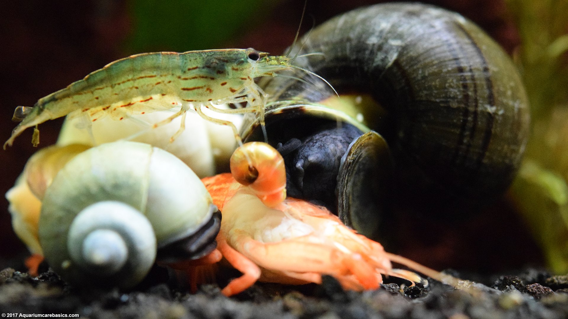 Bamboo Shrimp: Tank Mates, Food, Care, Feeding - VideoFreshwater Shrimp Care