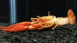 Dead Tangerine Crayfish On Tank Bottom