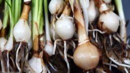 Dwarf Onion Plant Bulbs, Upclose