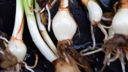 Dwarf Onion Plant Care