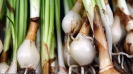 Dwarf Onion Plant: Bulbs Roots And Stems