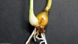 Dwarf Onion Propagation