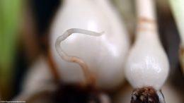 Dwarf Onion Plant Roots, Closeup