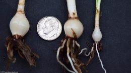 Dwarf Onion Plant Size