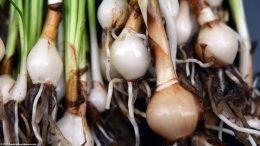 Dwarf Onion Plant: Three Bulbs