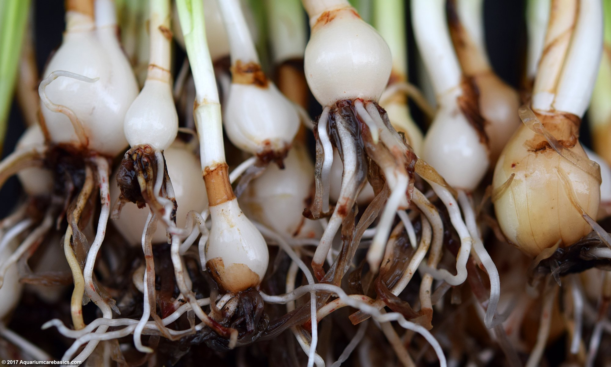 Dwarf Onion Plant: Stems, Bulbs And Roots