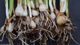 Dwarf Onion Plants