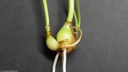 Dwarf Onion Reproducing, Small Bulb On Side