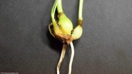 Dwarf Onion: Two Bulbs, Propagation